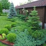 Хвойные растения для сада: посадка и уход