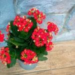Каланхоэ не цветет: причины и что делать
