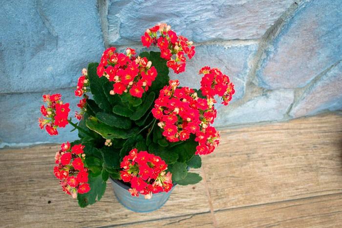 Почему каланхоэ не цветет — как помочь растению?