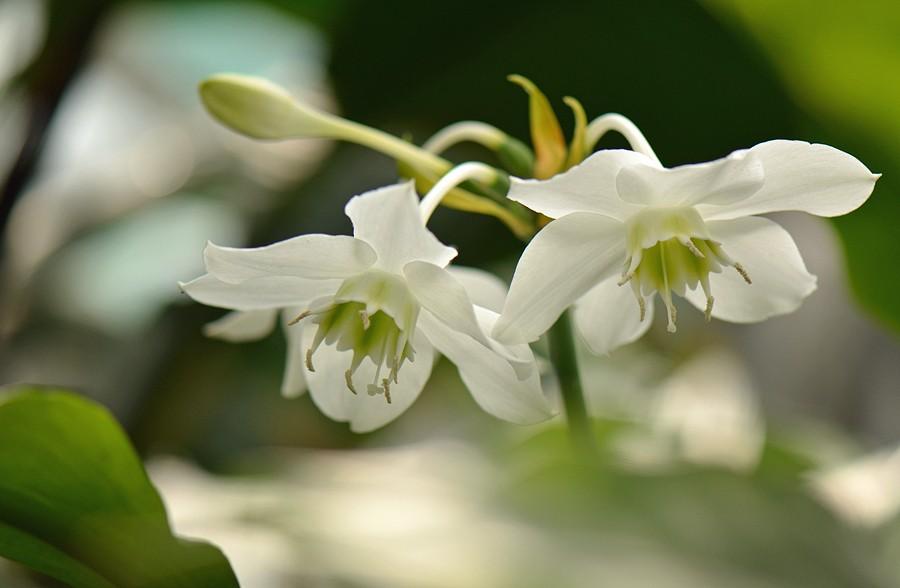 euharis-foto-video-vidy-i-sorta-amazonskoj-lilii-razmnozhenie-i-uhod-6