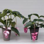 Мединилла: сорта, размножение и уход