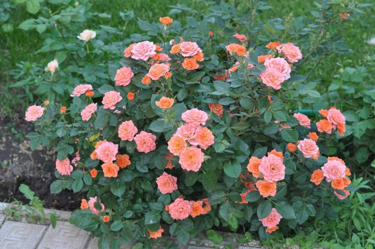 Бордюрные розы сорта фото с названиями