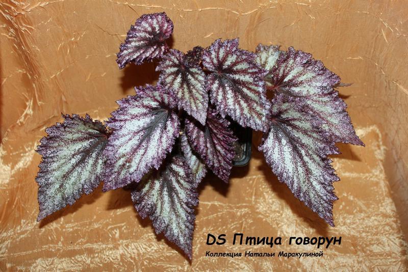 dekorativno-listvennye-begonii-foto-video-populyarnye-vidy-i-sorta-071