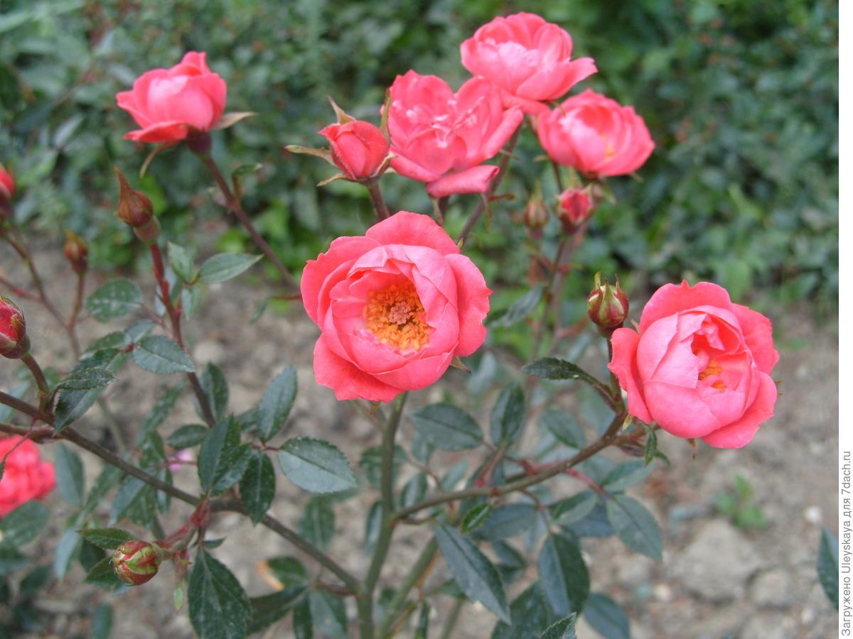 Миниатюрная роза сорт 'Мальчик-с-Пальчик'.