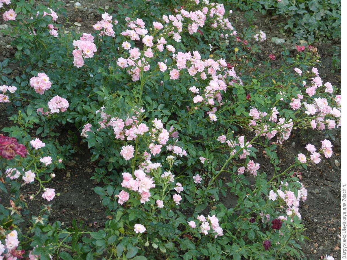 Миниатюрная роза сорт 'Fresh Pink'.