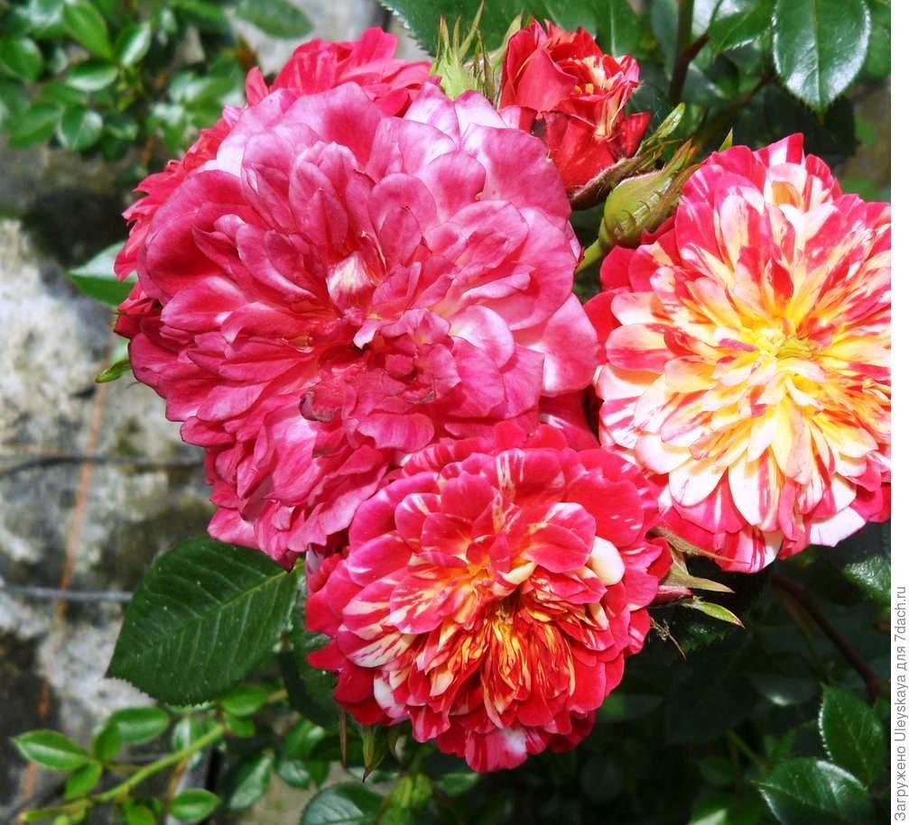 Миниатюрная роза сорт 'Bigoudi'.