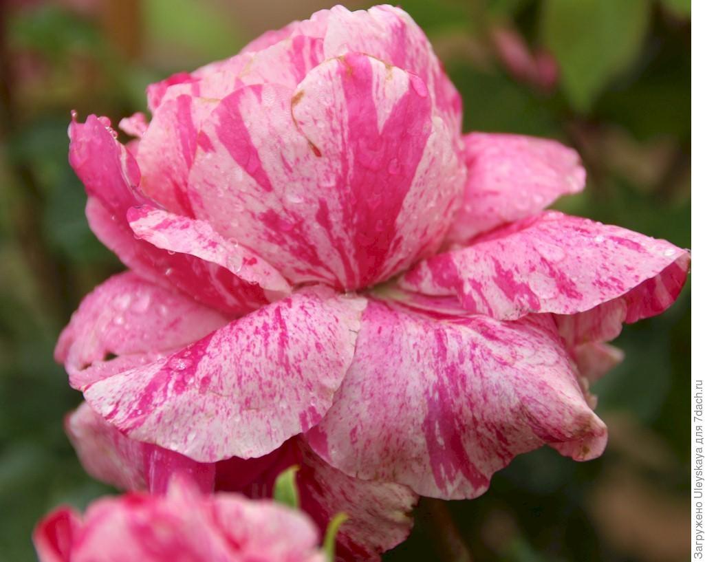 Миниатюрная роза сорт 'Colibri'.
