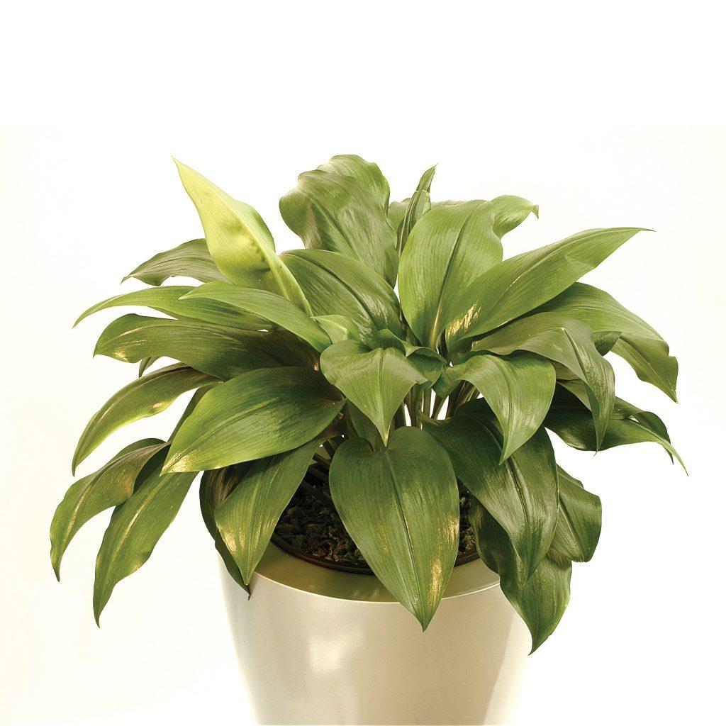 euharis-foto-video-vidy-i-sorta-amazonskoj-lilii-razmnozhenie-i-uhod-27