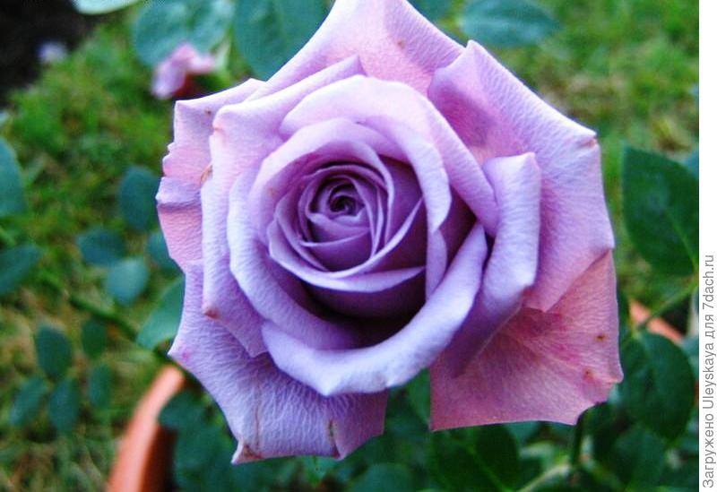 Миниатюрная роза сорт 'Lavender Meillandina',