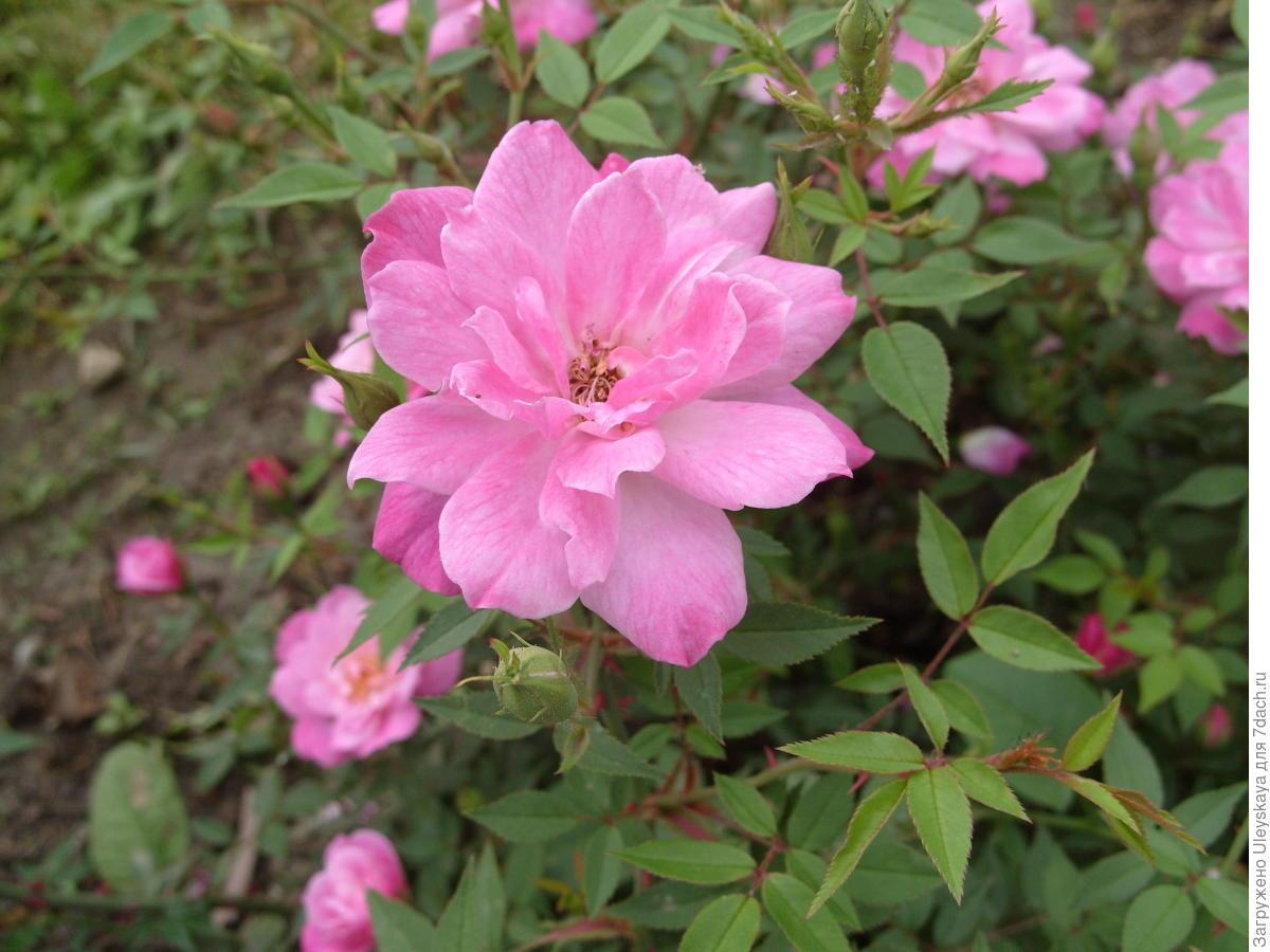 Миниатюрная роза сорт 'Rouletii'.