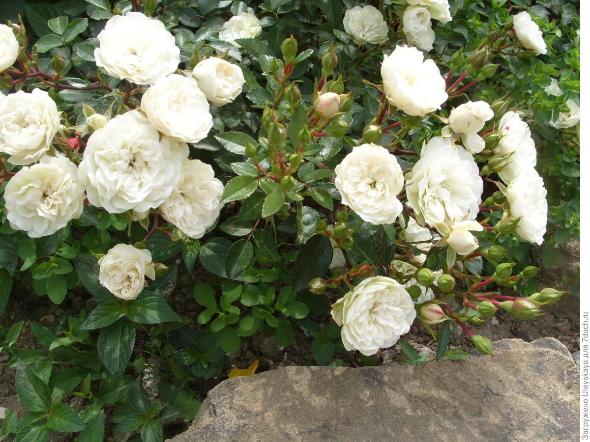 Миниатюрная роза сорт 'Cinderella'.