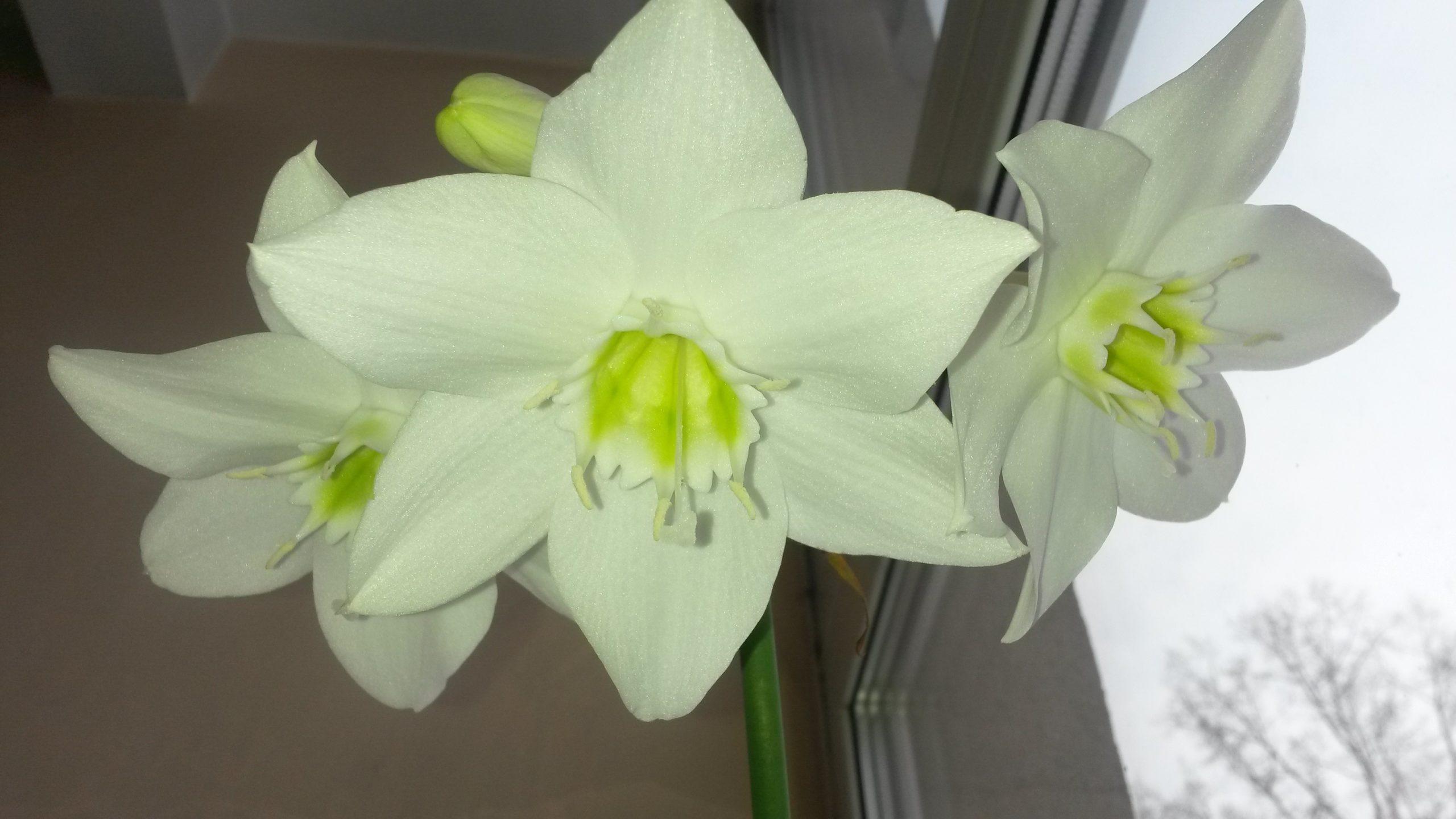 euharis-foto-video-vidy-i-sorta-amazonskoj-lilii-razmnozhenie-i-uhod-3
