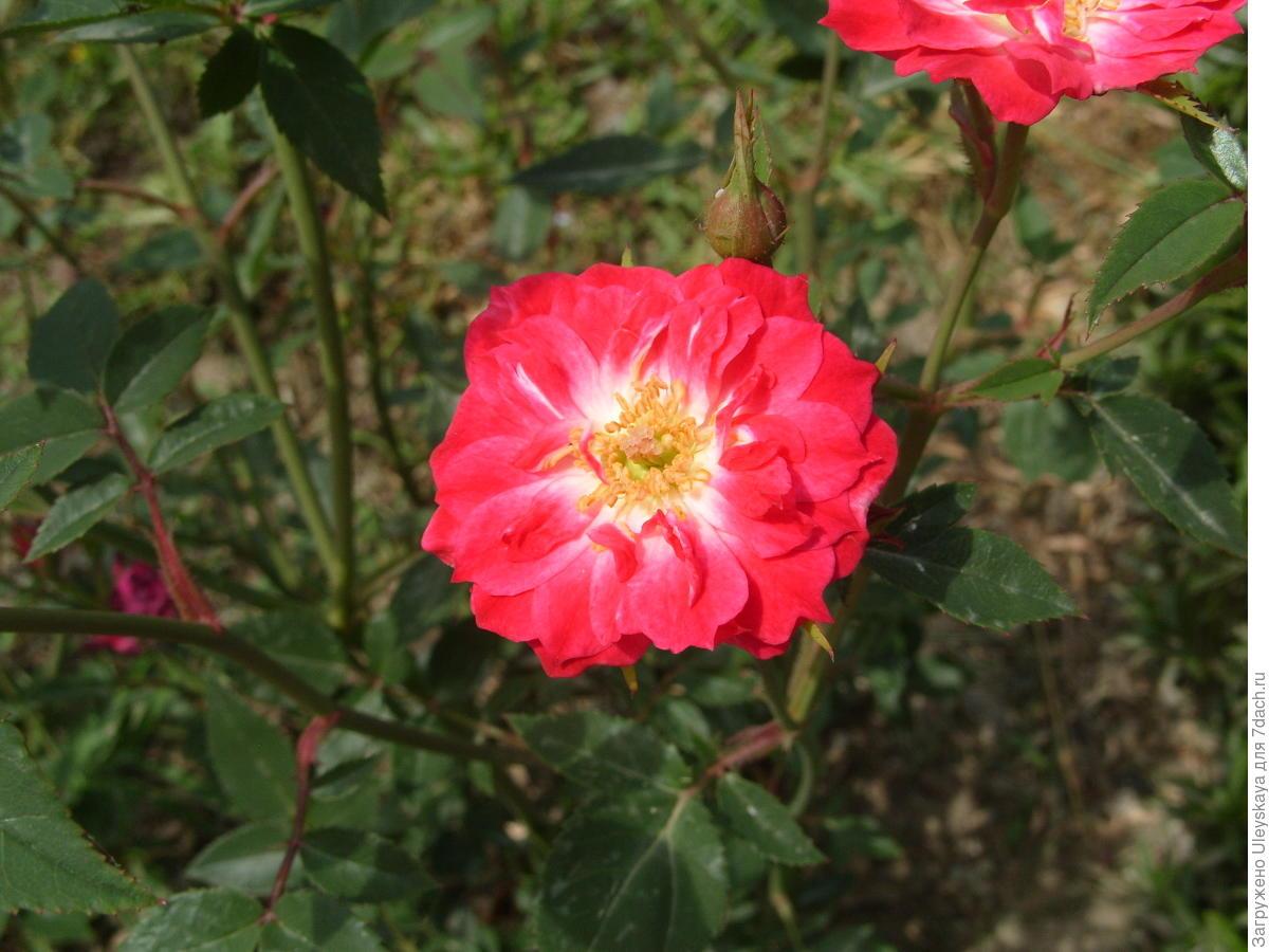 Миниатюрная роза сорт 'Maidy'.