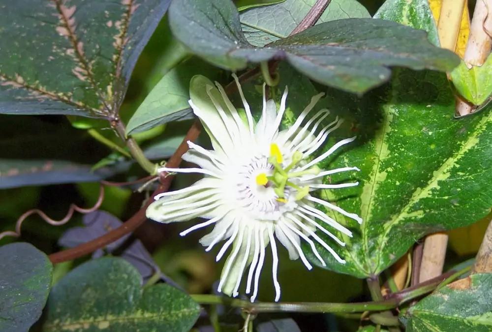 passiflora-foto-video-vidy-opisanie-razmnozhenie-posadka-uhod-23