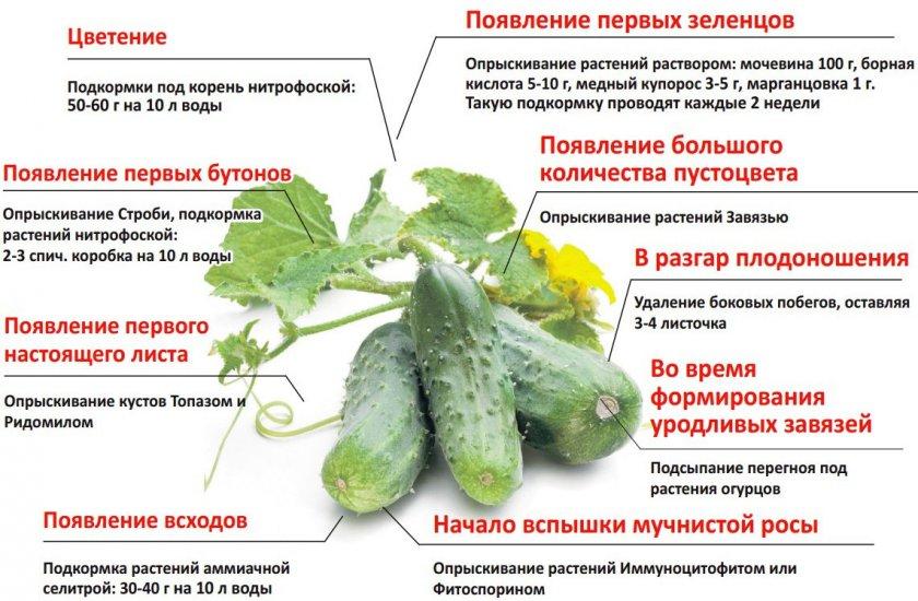 podkormka-ogurtsov-foto-video-chem-i-kak-udobryat-ogurtsy-6