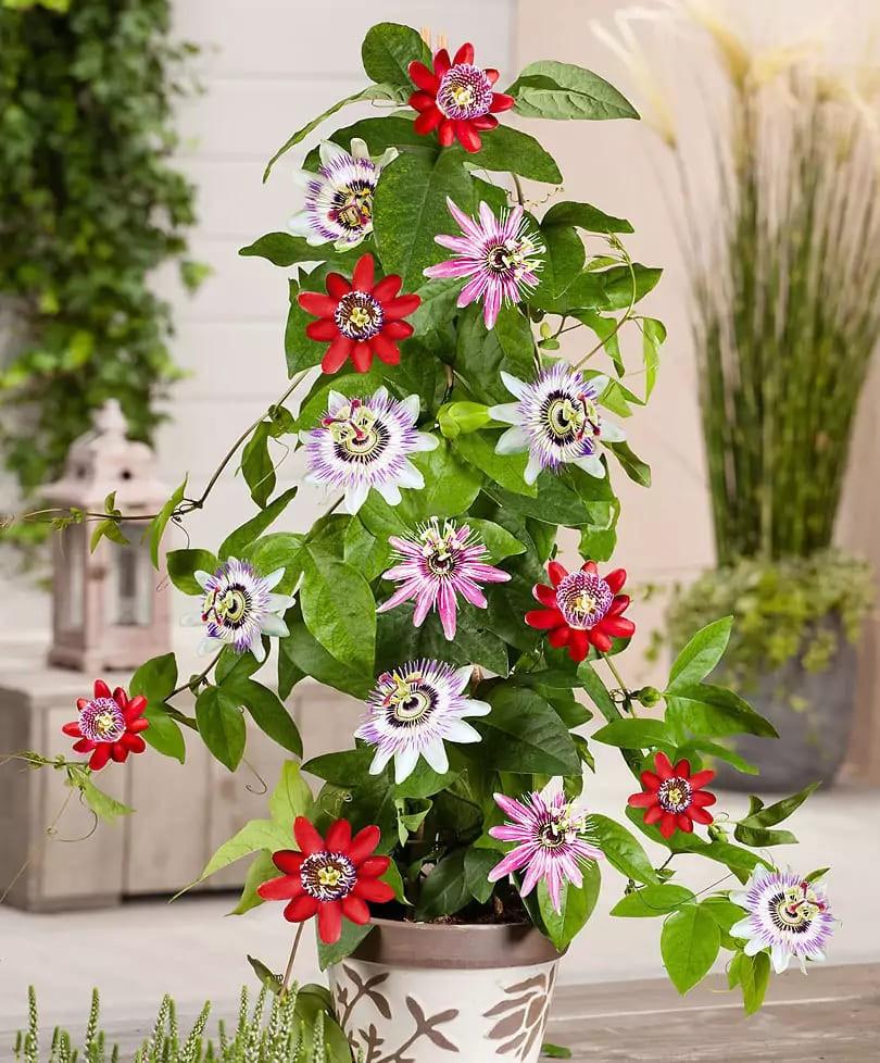passiflora-foto-video-vidy-opisanie-razmnozhenie-posadka-uhod-16