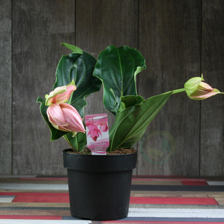 Для мединиллы подходят смеси удобрений для рододендронов, подкормки для цветущих культур или универсальные удобрения.