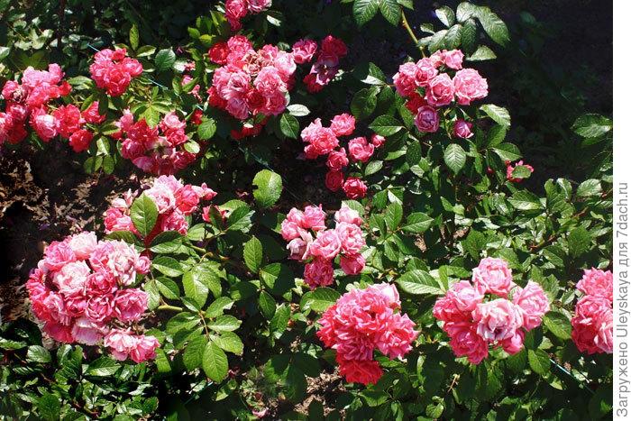 Миниатюрная роза сорт 'Baby Bunting'.