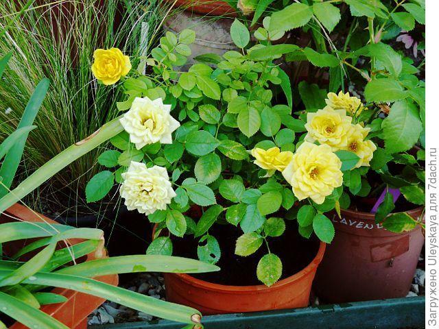 Миниатюрная роза сорт 'Gold Symphonie'.
