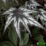 dekorativno-listvennye-begonii-foto-video-populyarnye-vidy-i-sorta-09