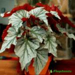 dekorativno-listvennye-begonii-foto-video-populyarnye-vidy-i-sorta-010