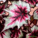 dekorativno-listvennye-begonii-foto-video-populyarnye-vidy-i-sorta-018