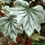dekorativno-listvennye-begonii-foto-video-populyarnye-vidy-i-sorta-019