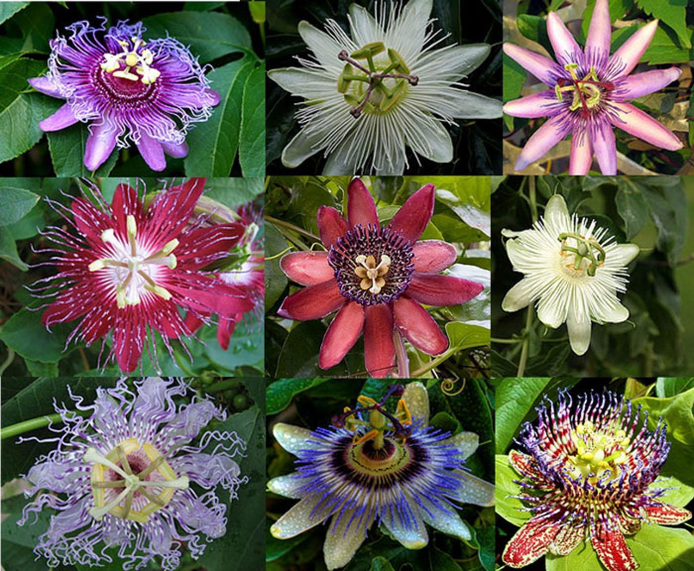 passiflora-foto-video-vidy-opisanie-razmnozhenie-posadka-uhod-8