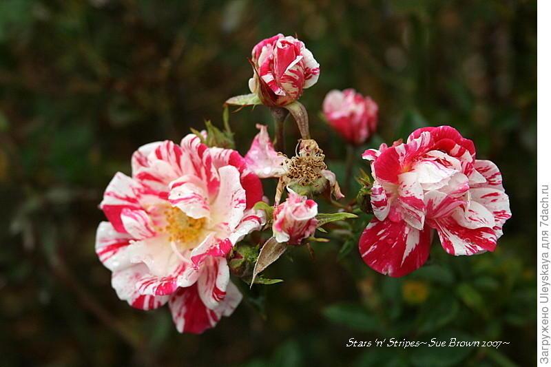 Миниатюрная роза сорт 'Stars'n Stripes'.