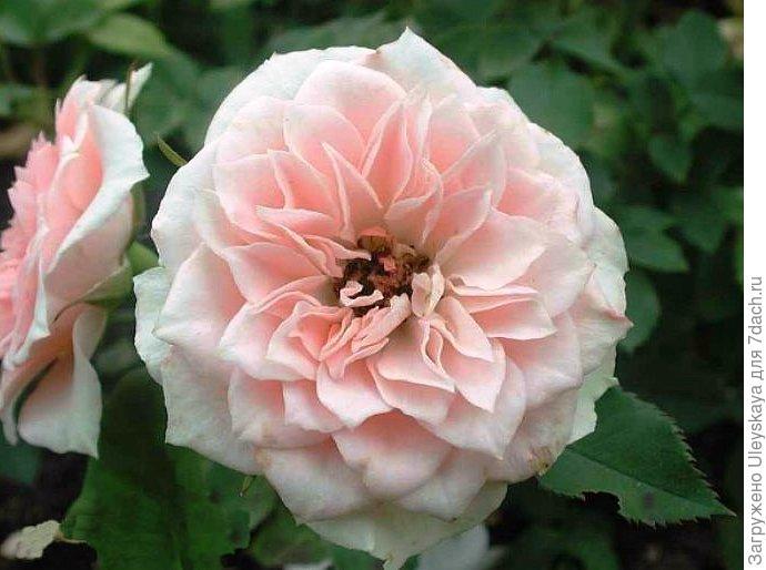 Миниатюрная роза сорт 'Daniela'.