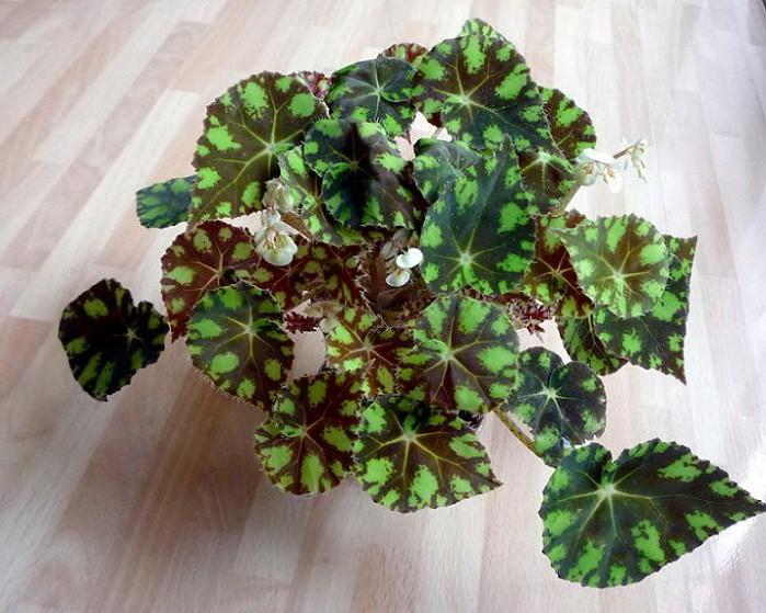 dekorativno-listvennye-begonii-foto-video-populyarnye-vidy-i-sorta-32
