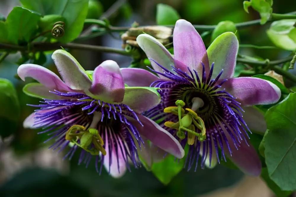 passiflora-foto-video-vidy-opisanie-razmnozhenie-posadka-uhod-12