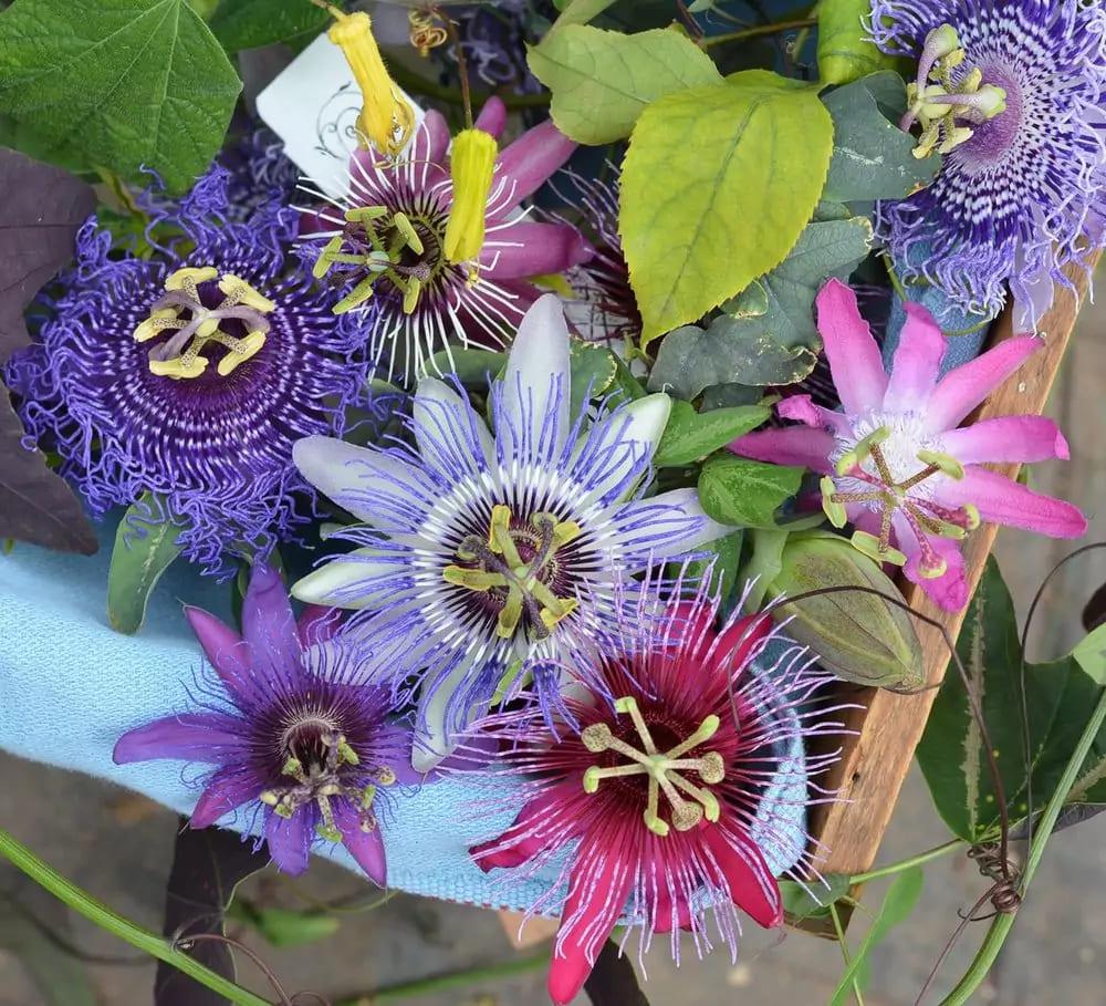 passiflora-foto-video-vidy-opisanie-razmnozhenie-posadka-uhod-17