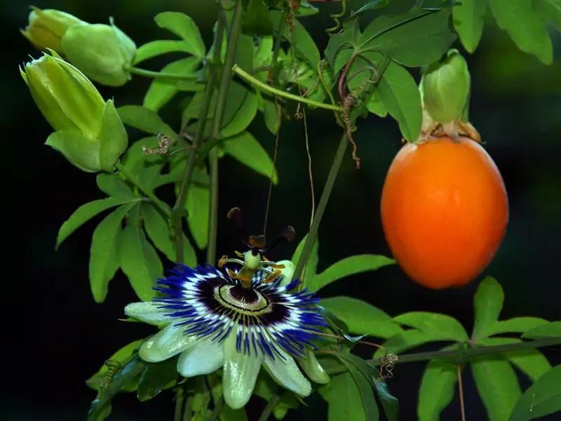 passiflora-foto-video-vidy-opisanie-razmnozhenie-posadka-uhod-11