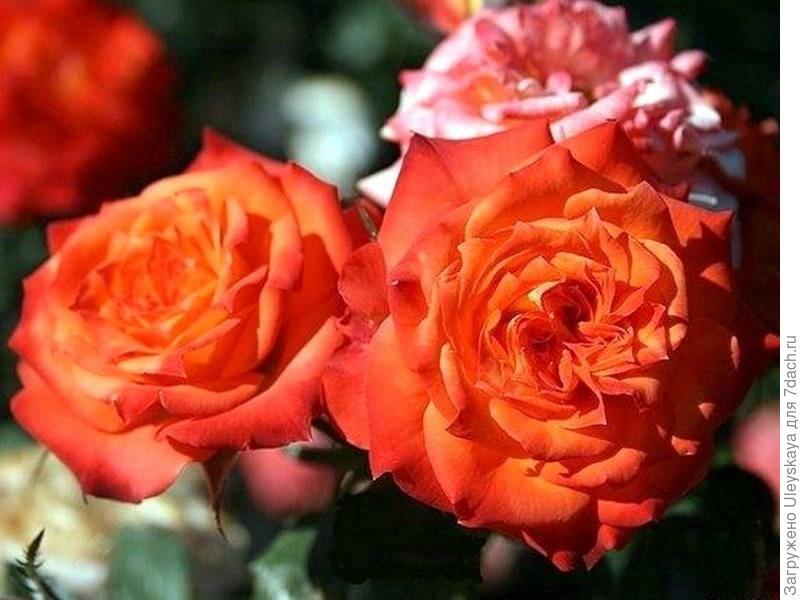Миниатюрная роза сорт 'Mandarine Symphonie'.