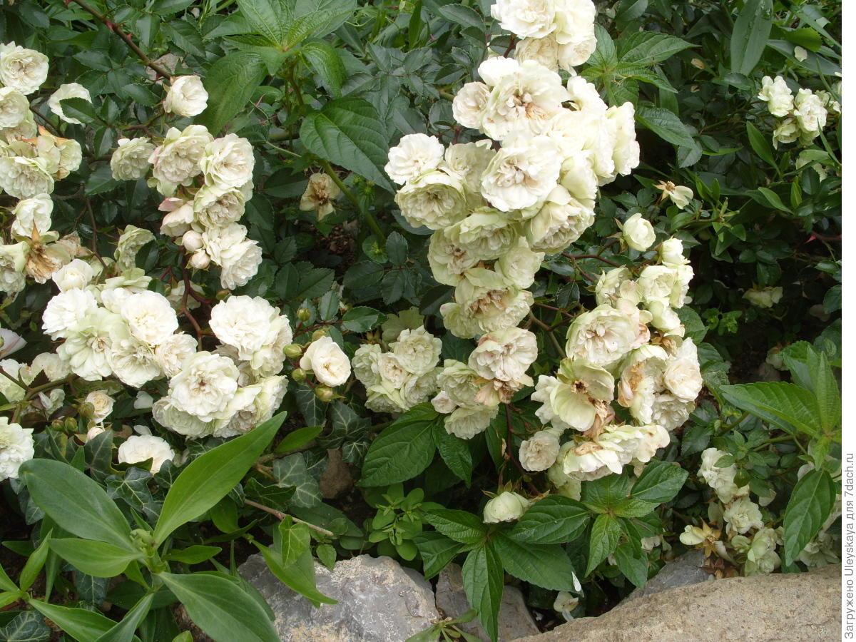 Миниатюрная роза сорт 'Green Ice'.