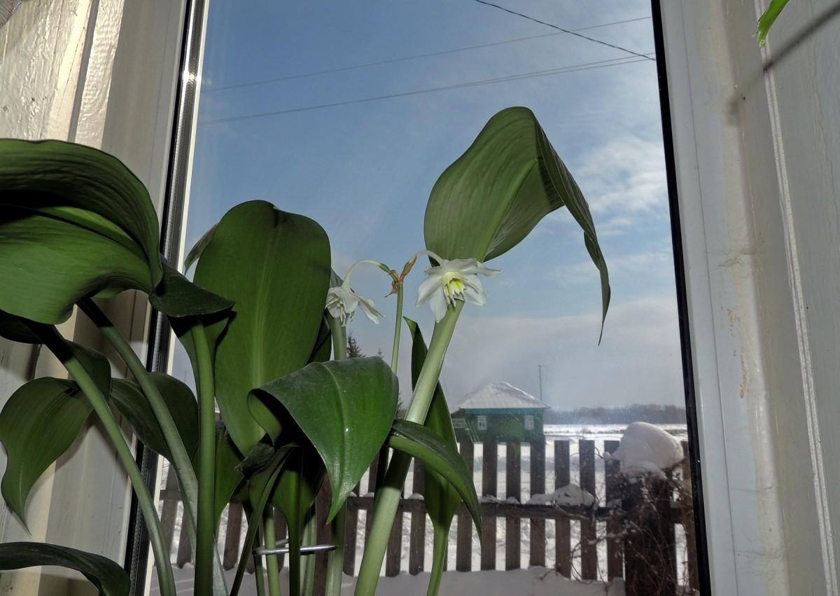 euharis-foto-video-vidy-i-sorta-amazonskoj-lilii-razmnozhenie-i-uhod-5