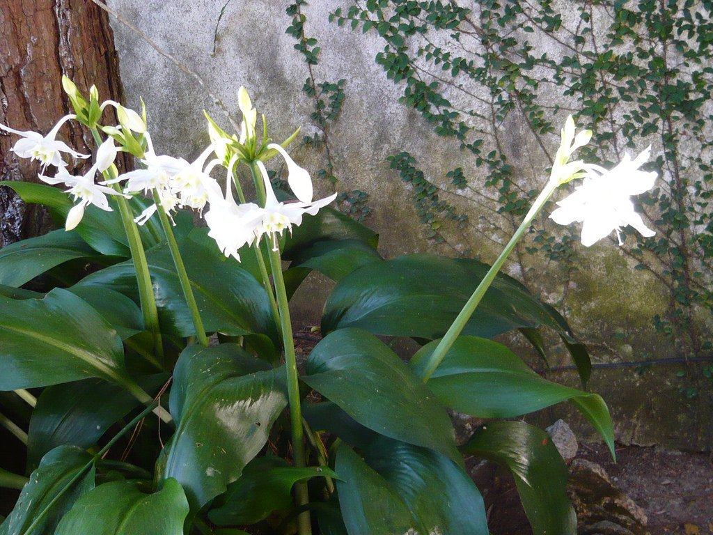 euharis-foto-video-vidy-i-sorta-amazonskoj-lilii-razmnozhenie-i-uhod-18