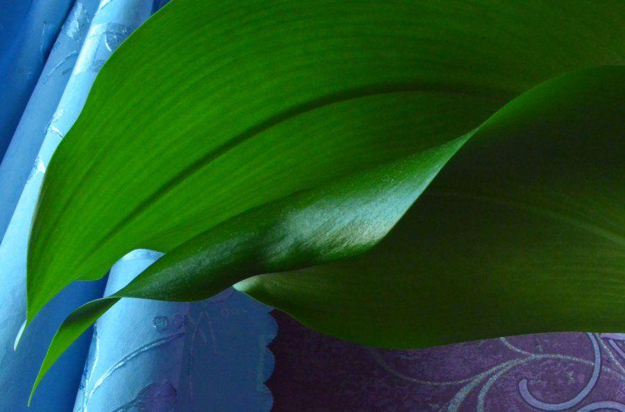 euharis-foto-video-vidy-i-sorta-amazonskoj-lilii-razmnozhenie-i-uhod-26