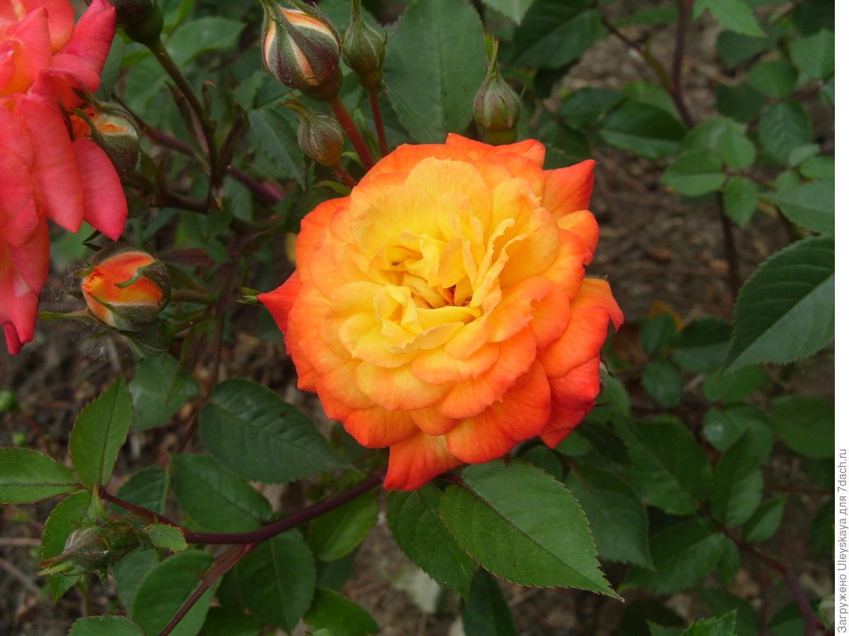 Миниатюрная роза сорт 'Sunmaid'.