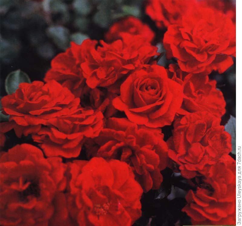 Миниатюрная роза сорт 'Zwergkonigin'.