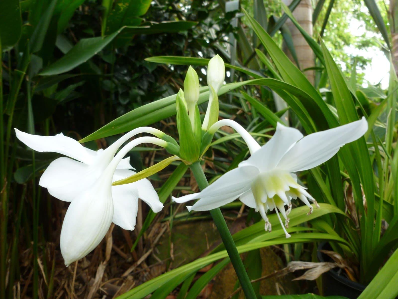 euharis-foto-video-vidy-i-sorta-amazonskoj-lilii-razmnozhenie-i-uhod-4