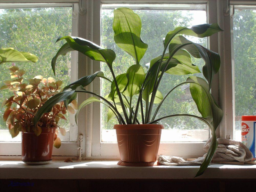 euharis-foto-video-vidy-i-sorta-amazonskoj-lilii-razmnozhenie-i-uhod-22