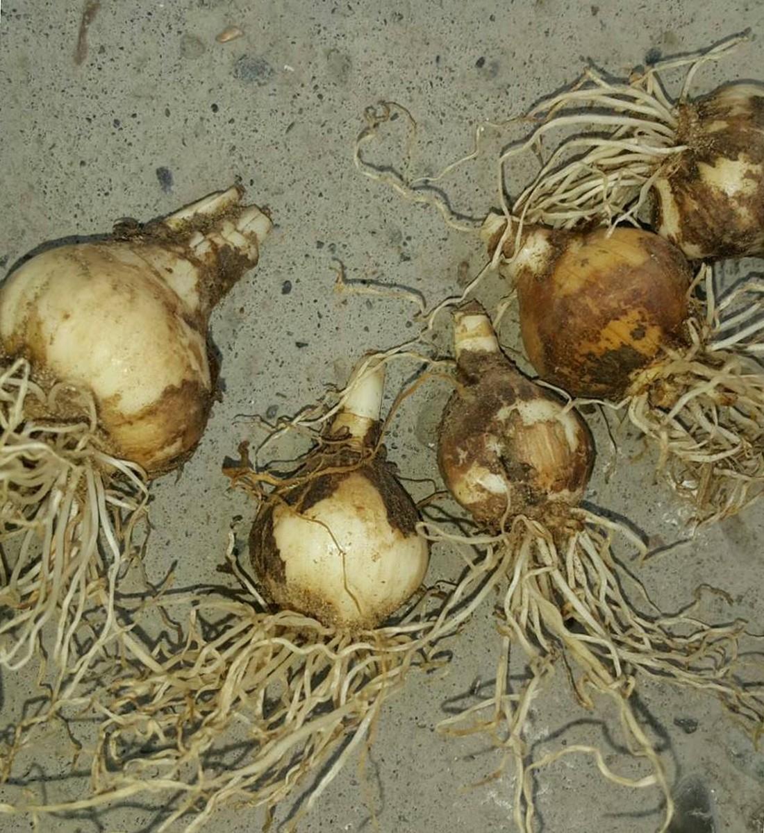 euharis-foto-video-vidy-i-sorta-amazonskoj-lilii-razmnozhenie-i-uhod-16