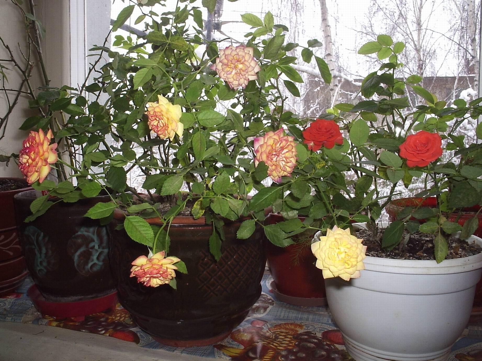 domashnyaya-roza-foto-video-vyrashhivanie-razmnozhenie-i-uhod-9