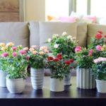 Домашняя роза: размножение и уход