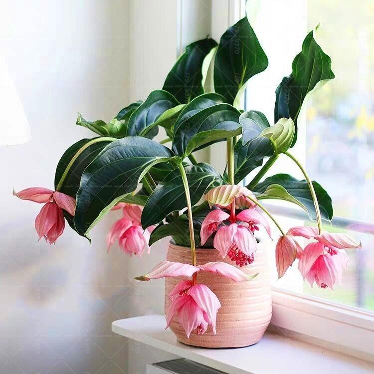 Для этой красавицы подойдут только те кашпо, в которых мединилла не будет казаться цветками и листьями подоконников и поверхностей, на которых она расположена.