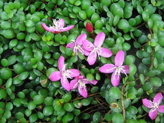 Седумолистная (Sedifolia).