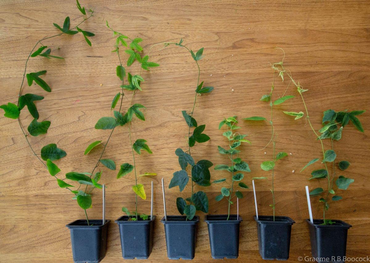 passiflora-foto-video-vidy-opisanie-razmnozhenie-posadka-uhod-22