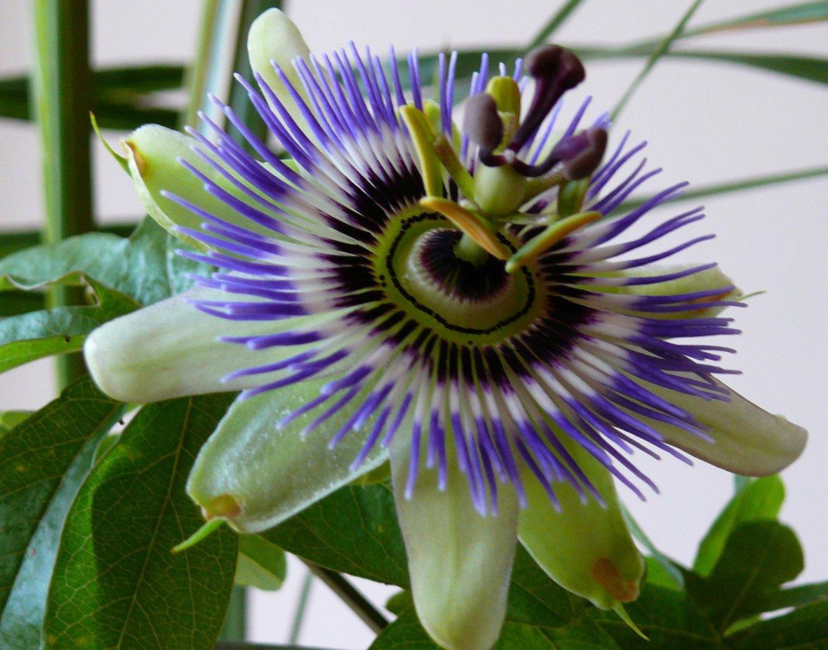 passiflora-foto-video-vidy-opisanie-razmnozhenie-posadka-uhod-15